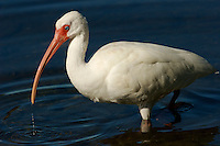 A portrait of a white ibis (Endocimus albus) standing in the water..Sanibel Island, Florida, USA.