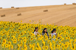 © Licensed to London News Pictures. 08/08/2020. CHORLEYWOOD, UK. Visitors take photos amongst the sunflowers growing in a wheat field near Chorleywood, Hertfordshire on a hot day where the temperature is expected to peak at 34C.  The forecast is for temperatures to continue to exceed 30C for the next few days.  Photo credit: Stephen Chung/LNP