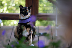 Zelda the cat wanders the back yard of her home in Oakland, Calif., Wednesday, June 17, 2020. (Photo by D. Ross Cameron)
