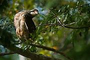 Great Black Hawk (Buteogallus urubilinga) Juvenile<br /> Rain Forest<br /> Iwokrama Reserve<br /> GUYANA<br /> South America