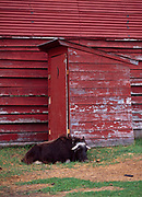 Young Musk Ox sleeping on the job while guarding outhouse at the Musk Ox Farm, Palmer, Alaska.
