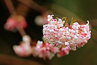 Bunch of pink blossoms on a tree