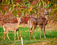 Doe and fawn (winter coat) outside my wildflower garden. Image taken with a Fuji X-H1 camera and 200 mm f/2 lens + 1.4x teleconverter