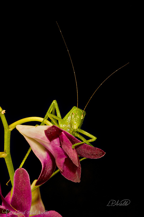 """This Fork-Tailed Bush Katydid (Scudderia furcate) is perched atop a Dendrobium orchid flower. Primarily nocturnal in habit, it has become expert at camouflage by mimicking the shape and colors of the leaves upon which it feeds.  <br /> <br /> Insects in this family (Tettigoniidae) are commonly called katydids or bush crickets and more than 6,400 species are known. The Fork-Tailed Bush Katydid, is native to the United States and widespread in the eastern and southeastern regions.  Adults are 14 - 75mm (0.55 - 2.95 inches) in length and have excellent eyesight.  <br /> <br /> Katydids have much longer antennae than grasshoppers, averaging 39mm (1.53 inches) and they only produce one generation annually since the eggs require a rest period.  <br /> <br /> The males have sound-producing organs located on the hind angles of their front wings. The males use this sound for courtship, which occurs late in the summer. The sound is produced by rubbing two parts of their bodies together, a process called stridulation. The males call 24-hours a day using 2-3 chirps followed by various periods of silence while waiting for a female to respond.  The insect gets its name from the sound of the male's call: """"Katy-did"""". <br /> <br /> The tempo of the calls is governed by ambient temperature.  For American katydids, the number of chirps in 15 seconds plus 37 will be close to the outside temperature in degrees Fahrenheit."""