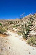 Ocotillo along the trail to Mountain Palm Springs, Tierra Blanca Mountains, Anza-Borrego Desert State Park, California