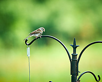 Song Sparrow. Image taken with a NikonD850 camera and 200 mm f/2 VR lens