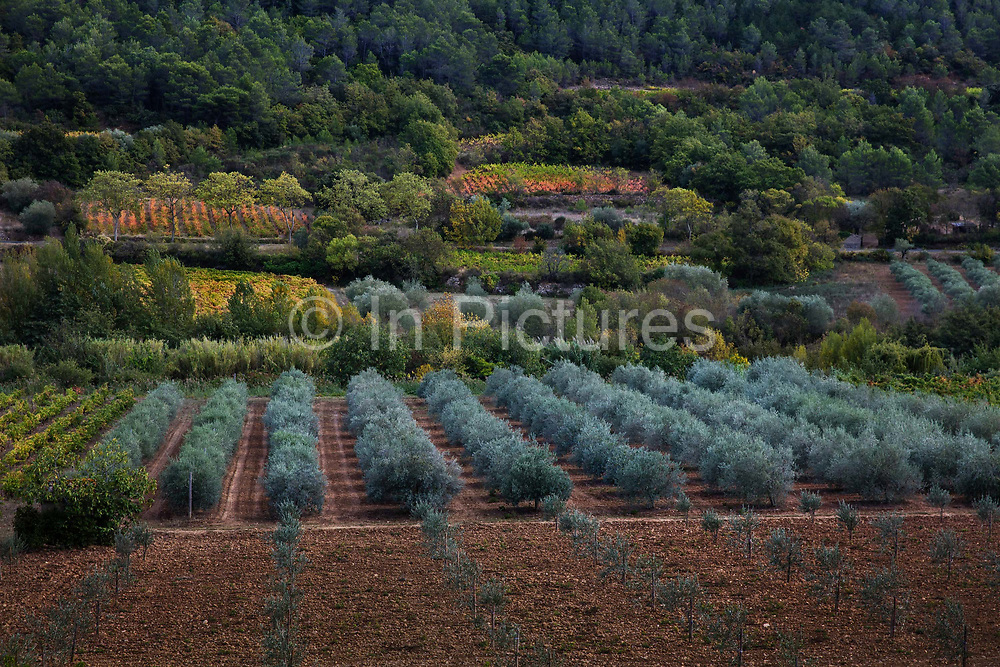Olive trees planted between the vinyards, 18th October 2016, Langadoc Area, France. <br /> The EU is the largest producer and consumer of olive oil in the world and their recent destruction by bacteria have caused a 20 percent increase in olive oil prices worldwide last year.