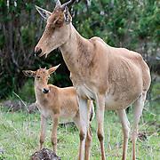 Coke's hartebeest (Alcelaphus buselaphus cokii) mother with baby, Masai Mara Game Reserve, Kenya, Africa