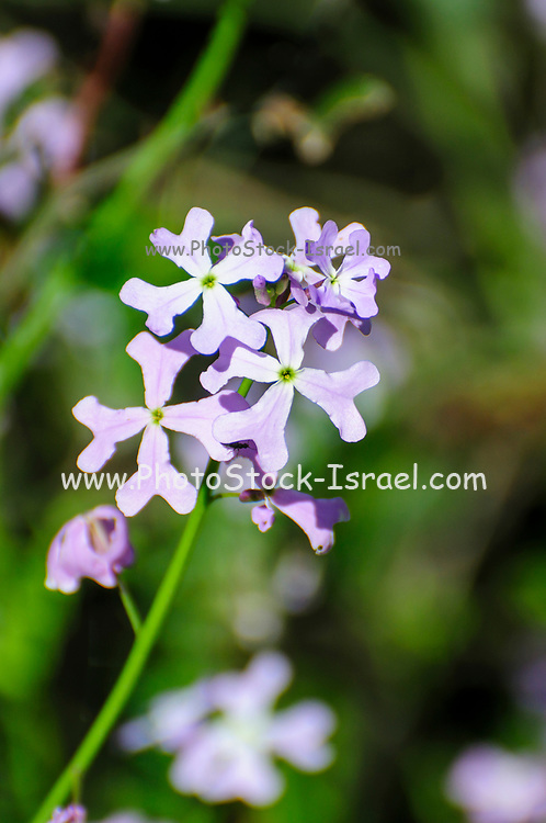 Ricotia lunaria commonly known as Maltese Cross Ricotia or Egyptian Honesty. Photographed in israel in March