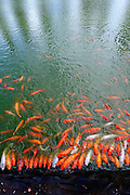 Koi fish in feeding frenzy at edge of large pond. RIGHTS MANAGED LICENSE AVAILABLE FROM www.gettyimages.com - contact Sheldon for details