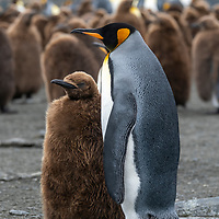 An adult king penguin next to its chick in a massive breeding colony at Gold Harbour on South Georgia Island.