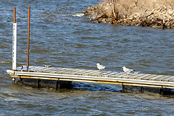Ring-Billed gulls (Larus delawarensis) sit on a boat docked clearly marked for sailboats only!