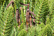 Numerous Northern Giant Horsetails (Equisetum telmateia braunii) in various stages of development are clustered together in the Grays Harbor National Wildlife Refuge near Hoquiam, Washington..