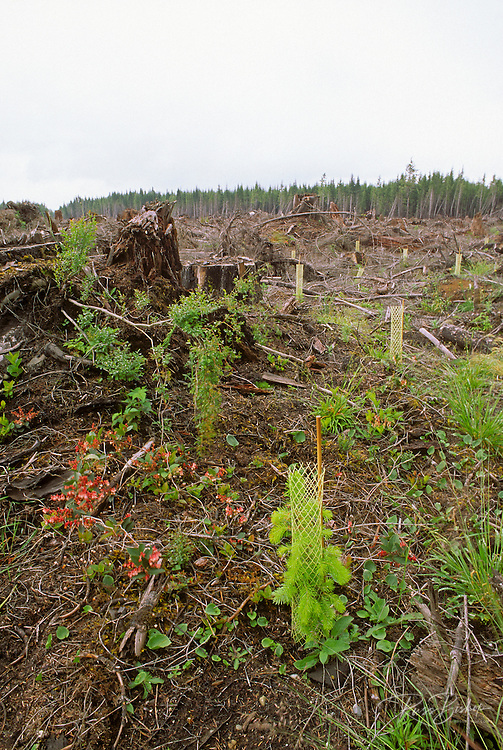 Sitka spruce seedings in a clear cut forest adjacent to Olympic National Park, Olympic Peninsula, Washington USA