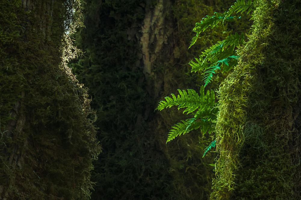 Bigleaf maple tree (Acer macrophyllum), with moss and licorice ferns (Polypodium glycyrrhiza), Olympic National Park, Washington, USA