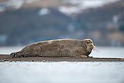 The bearded seal - Kampselur (Erignathus barbatus)<br /> The bearded seal is qute rare in Iceland. It is known for not beeing shy and therefore a easy pray for hunters or photographers. <br /> It can not be found on the North pole, but can be found everywhere else all over the Arctic.<br /> It is believed that the specie is counting around 1 million.