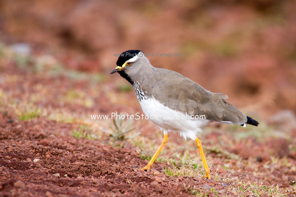 The spot-breasted lapwing (Vanellus melanocephalus) is a species of bird in the family Charadriidae. It is endemic to the Ethiopian highlands. Photographed in Ethiopia in November