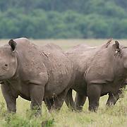 Black Rhinoceros (Diceros bicornis) mother and baby. Masai Mara National Reserve, Kenya, Africa