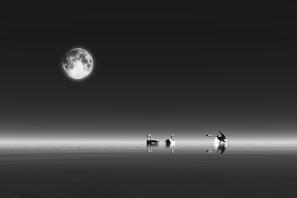Under a long, pale moon, we see a group of swans in a quiet body of water. There is something very haunting to this image. There is a quality which suggests to us that we have been transported to an entirely different world. This is a fascinating piece that can bring style and fascination to virtually any space you can imagine. This piece works just as well in professional spaces as it works in personal spaces. You can simply look at this fine art example, and find yourself transported to a place that is familiar, and yet is somewhere we have never been. .<br /> <br /> BUY THIS PRINT AT<br /> <br /> FINE ART AMERICA<br /> ENGLISH<br /> https://janke.pixels.com/featured/swans-jan-keteleer.html<br /> <br /> WADM / OH MY PRINTS<br /> DUTCH / FRENCH / GERMAN<br /> https://www.werkaandemuur.nl/nl/shopwerk/Dierenrijk---Groep-zwanen-in-een-stille-watermassa/443745/524