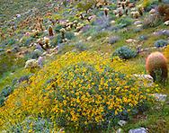 CADAB_120 -  Brittlebush (Encelia farinosa) blooms among barrel cactus and teddybear cholla, Mason Valley, Anza-Borrego Desert State Park, California, USA