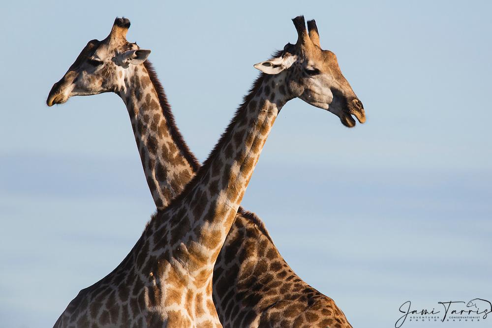 A pair of southern giraffe (giraffa camelopardalis)  crossing necks during play, Kalahari, Botswana, Africa