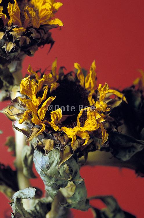 Arrangement of dried sunflowers