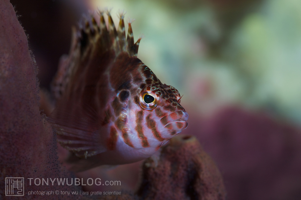 Coral hawkfish (Cirrhitichthys oxycephalus) perched on a sponge, using its pectoral fins for balance. Lembeh Strait, North Sulawesi, Indonesia.