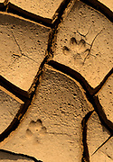 Bobcat Tracks in Creek Bed at Sunrise, BLM Lands, White Pine County, Nevada