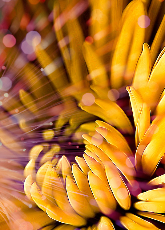 Fun with a yellow gerber daisy, a remote flash and purple fiber optic lights