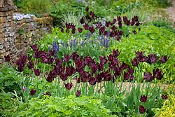 Tulipa 'Black Parrot' in the borders at Pettifers