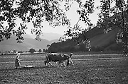 Harvesting Team in the Field, Molln, Austria, 1935
