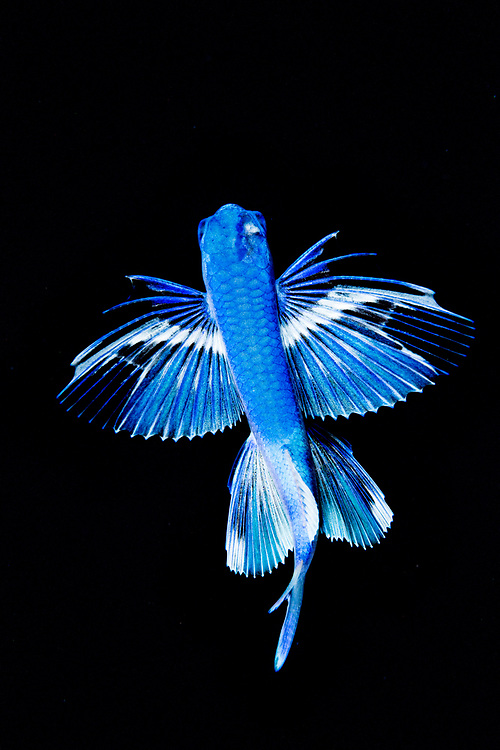 A gyre flying fish (Prognichthys glaphyrae) photographed in the Sargasso Sea, Atlantic Ocean, International Waters.