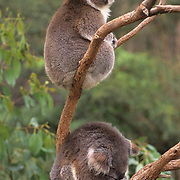 Koala, (Phascolarctos cinereus) Pair. Australia.