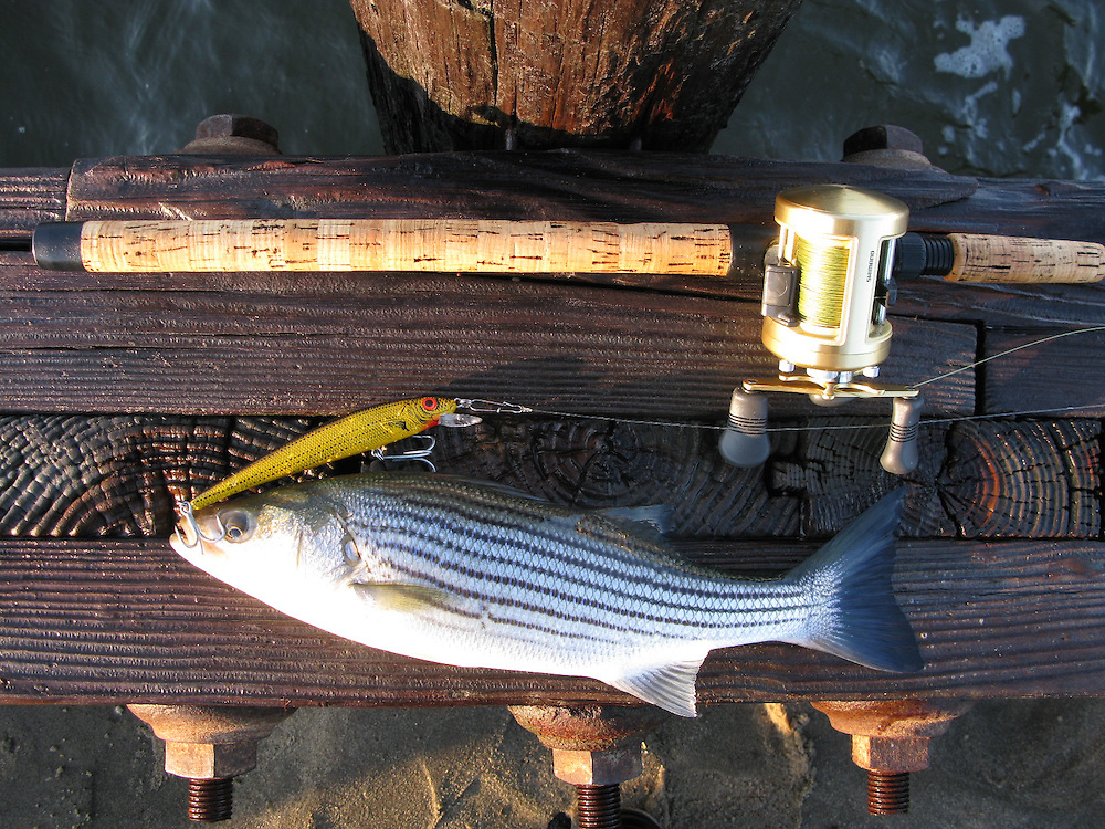 A striped bass taken from the surf of Sandy Hook Gateway National Park New Jersey.   This fish fell for a yellow and black bomber also known as a schoolbus bomber locally.