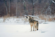 Gray wolf (Canis lupes)in northern Minnesota during winter howling