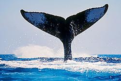humpback whale double lobtailing, Megaptera novaeangliae, Hawaii, Pacific Ocean