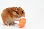 Cutout of a curious hamster and a carrot on white background