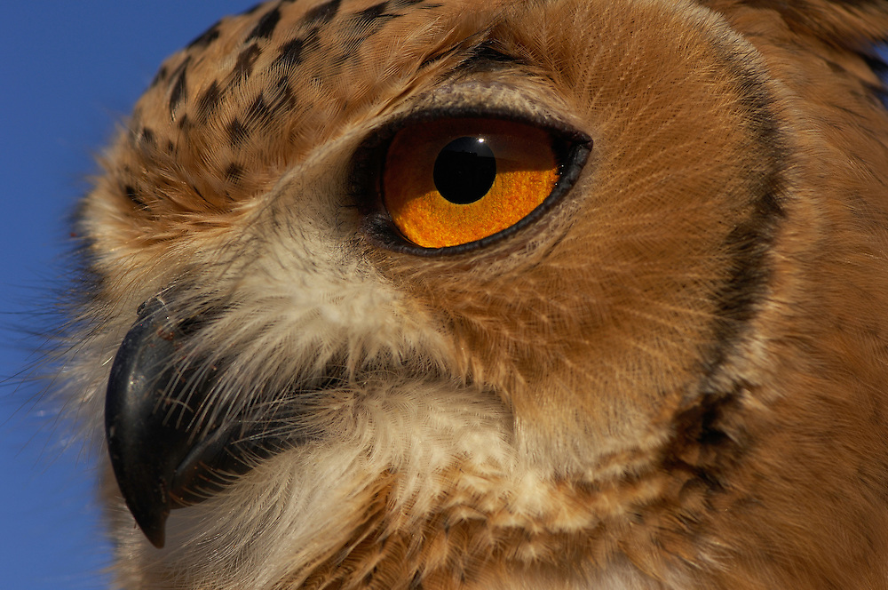 Desert Eagle owl, Bubo bubo, Dubai Desert Conservation Reserve, Dubai, captive