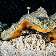 A queen conch (Lobatus gigas) laying eggs in the Exuma Cays Land and Sea Park, Exuma, Bahamas.