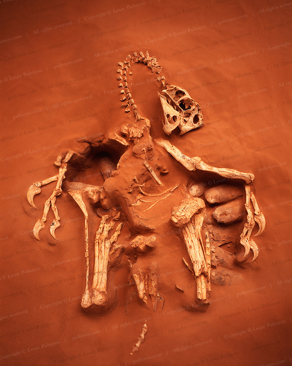 """This Oviraptor from the Gobi Desert in Mongolia, dubbed """"Big Mama"""" by its discoverers at the American Museum of Natural History, died protecting about 20 eggs."""