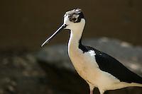 Black-necked stilt, Himantopus mexicanus. Arizona-Sonora Desert Museum, Tucson, Arizona