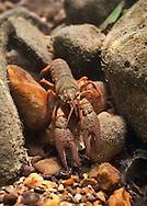 Meek's Crayfish<br /> <br /> Isaac Szabo/Engbretson Underwater Photo