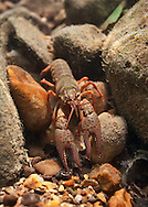 Meek's Crayfish<br />