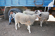 Marrakech, Maroc. 20 Decembre 2007..Le marche aux moutons avant Aid El Kebir..Aid El Kebir est une des fetes les plus importantes de l'Islam...Marrakesh, Morocco. December 20th 2007..The sheep market the day before Eid Al-Adha. .Eid Al-Adha is one of the most important celebrations in the Islam traditions.