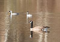 Canada Goose, Branta canadensis, swimming on Upper Klamath Lake, Oregon