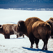 Bison along the road in the winter Hayden Valley of Yellowstone National Park.