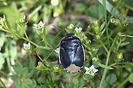 Down Shieldbug - Sehirus impressus