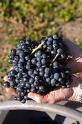 Harvested grapes. Chateau Paloumey, Haut Medoc, Bordeaux, France.
