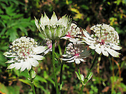 A white flower in the Astrantia genus (also known as great masterwort, or Sterndolde) blooms in the Berner Oberland, Switzerland, the Alps, Europe.