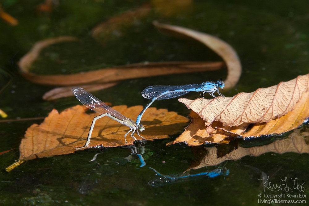"""A mating pair of familiar bluet damselflies (Enallagma civile) lay eggs in the Ronald Bog in Shoreline, Washington. The male, above, holds the female by the """"neck"""" while she deposits her eggs beneath the surface of the water."""